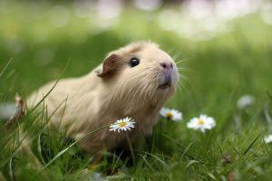 Petit précis d'étymologie : le cochon d'Inde